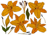 Flowers lily, orange buds and green leaves. Set collection. Isolated on white background. Vector illustration.