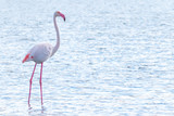 pink flamingo in the pond