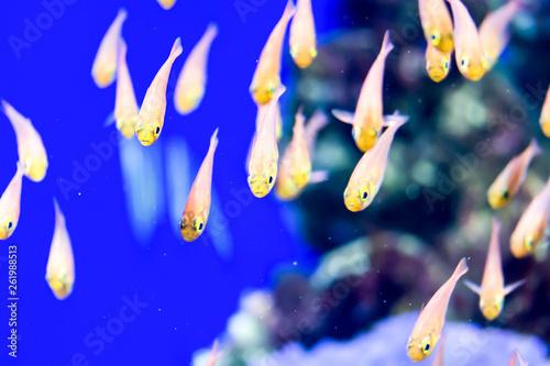 Leinwandbild Motiv Blurry photo of a small orange transparent fish that swim as group in a sea aquarium