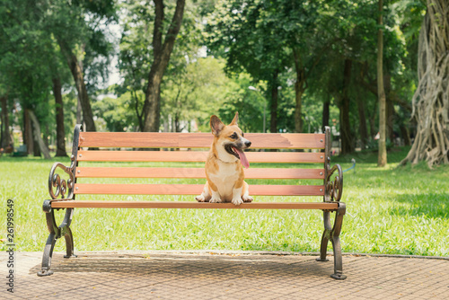 canvas print picture Cute Pembroke Welsh Corgi dog on a bench in the park