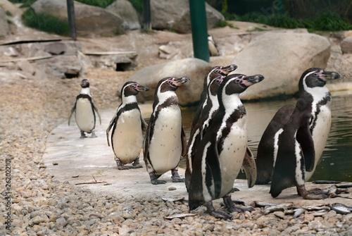 Fototapeten Pinguine Humboldt Penguin in Captivity in ZOO Pilsen Czech Republic
