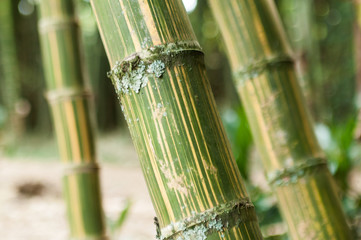 Bamboo branch in beautiful Green Bamboo Forest in the  Natural Forest for Rest and Healing Power. © gonzalocalle