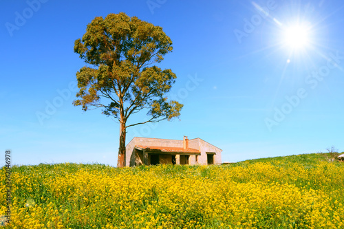 tree in canola field with the sun high in the blue sky