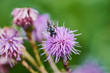 bee is collecting pollen in a violet thistle flower, macro color picture