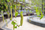 birch catkins and buds in spring