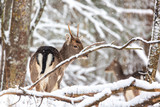 The American young noble deer standing in winter forest during snowstorm. Natural landscape.