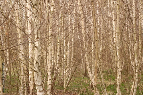 young birch forest in spring
