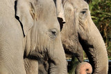 Close up of two elephant heads