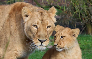 Mother lion and cub, close up, heads together