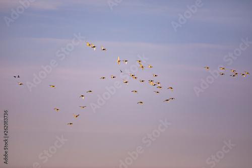 Flying birds. Sunset nature background. Birds: Red crested Pochard. Netta rufina.