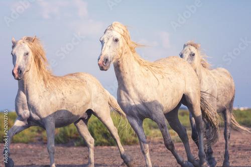 Beautiful white horses run gallop at soft sunset light, National park Camargue, Bouches-du-rhone department, Provence - Alpes - Cote d'Azur region, south France
