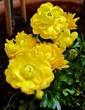 canvas print picture - Gelbe Blüten