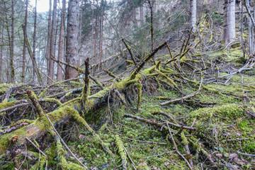 moosüberdeckter alter Baumstamm im Wald