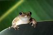 Cuban Treefrog (Osteopilus septentrionalis) on a green leaf. Portrait