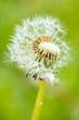 close up shot of single white dandelion flower with creamy green background in the shade