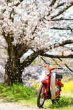 Classic motorcycle with cherry blossom in Japan.