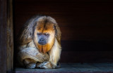 Sad looking howler monkey