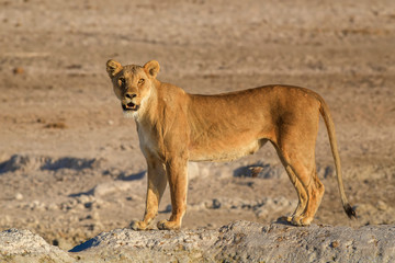 Lion - Panthera leo, iconic animal from African savannas, Etosha national park, Namibia.