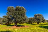 Olivenbaum in Italien
