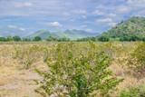 Custard apple tree in organic farm