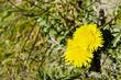canvas print picture - Yellow Dandelion in the landscape