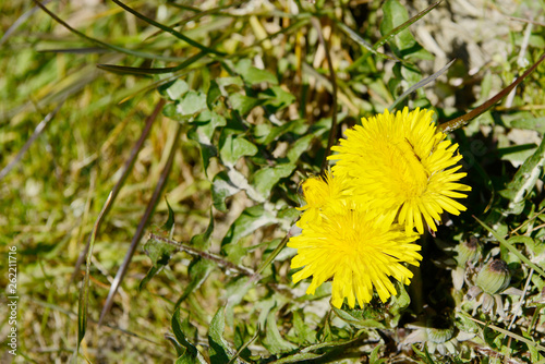 canvas print picture Yellow Dandelion in the landscape