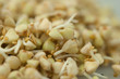 Sprouts of green buckwheat in a bowl. Macro shot. Raw buckwheat. Useful food from buckwheat sprouts for vegetarian food.