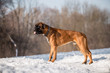 Leinwanddruck Bild - Dog breed boxer in the winter forest