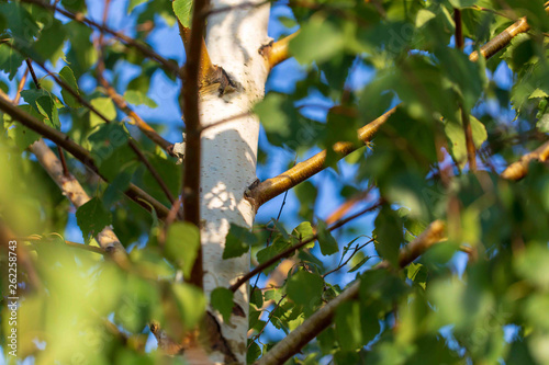 Green leaves on birch in summer - 262258743