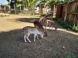 Ciervo hembra en cautividad en zoo de Ayamonte, provincia, de Huelva,España,Andalucia,Europa