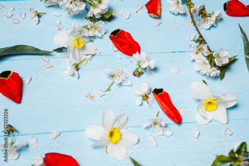 Beautiful flowers of red tulips, cherry blossoms and white daffodils in the spring on a blue background - 262323326