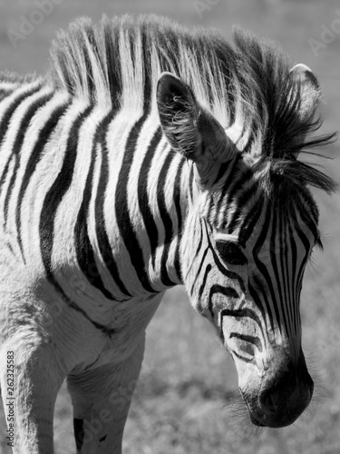 Young zebra, photographed in monochrome at Knysna Elephant Park, Garden Route, Western Cape, South Africa.