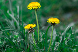 Yellow dandelions in the grass. Bright flowers of dandelion on a background of green spring meadows.