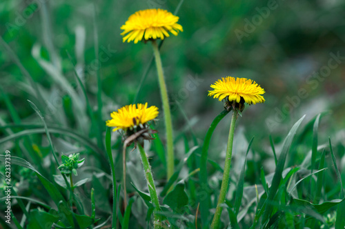 Yellow dandelions in the grass. Bright flowers of dandelion on a background of green spring meadows. - 262337339