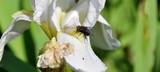fly on the iris