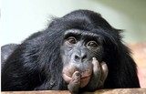 chimp chimpanzee common (pan troglodyte)