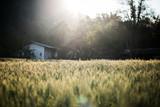 field of wheat farm