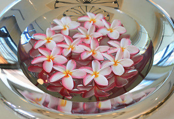 Plumeria or Frangipani flower floating in water in aluminium tray. Spa concept of blooming flowers.