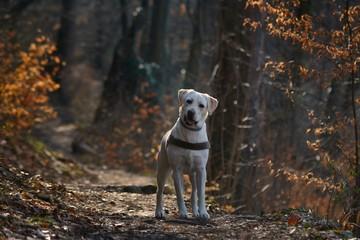 Labrador retriever dog in the forest