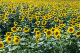 champ de tournesol dans lArdèche en France