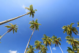 View of coconut trees with blue sky background - 262455130