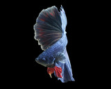 Blue halfmoon beta fish on black background