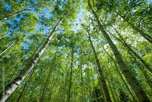 新緑の白樺林 - 262475582