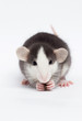 Quadro little rat on a white background