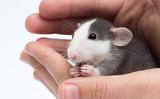 cute little rat in hand