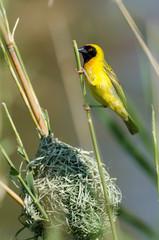 Tisserin intermédiaire,.Ploceus intermedius, Lesser Masked Weaver