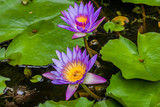 The Panama Pacific Tropical Water Lily