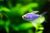The blue tetra glofish