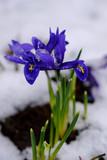 Blooming Blue Iris under the snow.