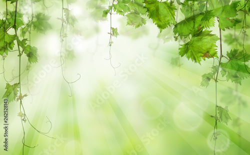 Green leaves with sunlight. morning Nature bio concept - 262528143